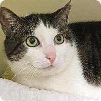 Adopt A Pet :: Cyan - Salisbury, MA