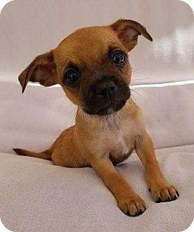 Schnauzer (Miniature) Mix Puppy for adoption in Thousand Oaks, California - Dude