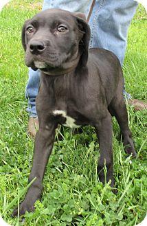 Labrador Retriever Mix Puppy for adoption in Reeds Spring, Missouri - Kiss