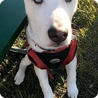 Adopt A Pet :: Thor - Garden City, MI