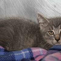 Adopt A Pet :: Benjamin (Baby Picture) - Marietta, OH