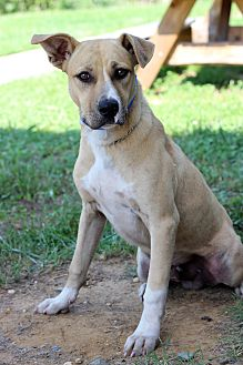 Labrador Retriever/Hound (Unknown Type) Mix Dog for adoption in Waldorf, Maryland - Houdini