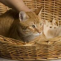 Adopt A Pet :: Boyd - Santa Paula, CA