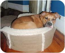 American Pit Bull Terrier Mix Dog for adoption in Framingham, Massachusetts - Chico