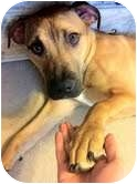 American Pit Bull Terrier Mix Dog for adoption in Buffalo, New York - Sabre