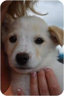 Labrador Retriever/Shepherd (Unknown Type) Mix Puppy for adoption in Okotoks, Alberta - Paisley