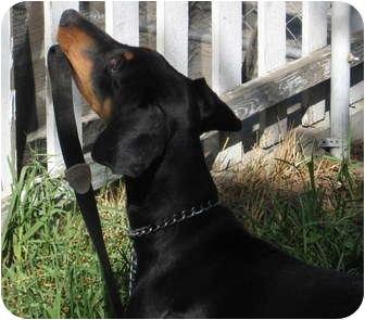 Doberman Pinscher Puppy for adoption in Sun Valley, California - Houston