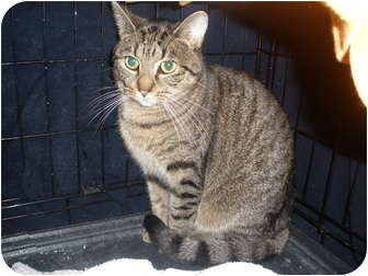 Domestic Shorthair Cat for adoption in Worcester, Massachusetts - Talima
