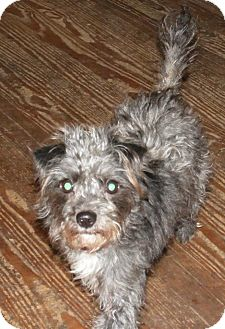 Terrier (Unknown Type, Small) Mix Dog for adoption in Cincinnati, Ohio - Muffy