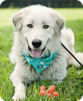 Great Pyrenees Dog for adoption in Portsmouth, Rhode Island - Bender-w/video!