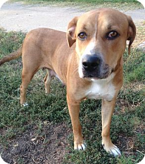 Black Mouth Cur/Black and Tan Coonhound Mix Dog for adoption in plano, Texas - Canela Cleopatra