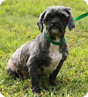 Shih Tzu/Lhasa Apso Mix Dog for adoption in Foster, Rhode Island - Angel- In New England!