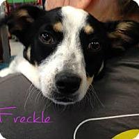 Adopt A Pet :: Freckle - House Springs, MO