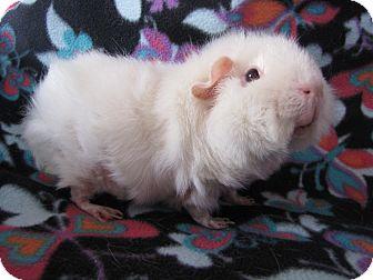 Guinea Pig for adoption in Warren, Michigan - Betty