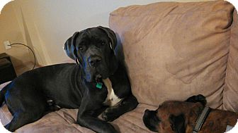 Cane Corso Dog for adoption in Oswego, Illinois - Diesel