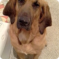 Adopt A Pet :: Sam - Fayetteville, AR