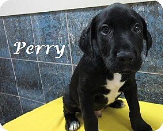 Labrador Retriever Mix Puppy for adoption in Bartonsville, Pennsylvania - Perry