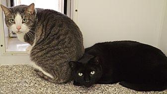 Domestic Shorthair Cat for adoption in Fryeburg, Maine - Naomi