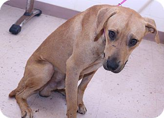 Retriever (Unknown Type)/Hound (Unknown Type) Mix Dog for adoption in McDonough, Georgia - H-Cash