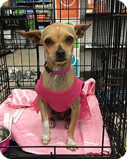 Chihuahua Mix Dog for adoption in Schertz, Texas - Bootsie