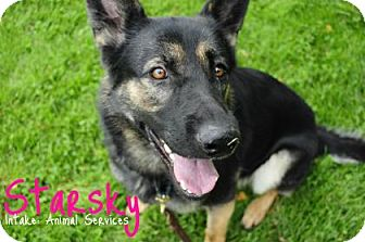 German Shepherd Dog Mix Dog for adoption in Hamilton, Ontario - Starsky