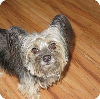 Yorkie, Yorkshire Terrier Mix Dog for adoption in Studio City, California - Sweet Pea