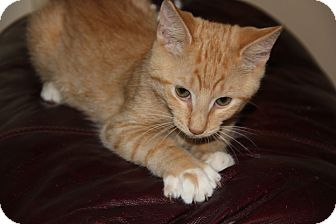 Domestic Mediumhair Kitten for adoption in tampa, Florida - Elmo KITTEN