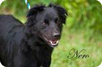 Labrador Retriever Mix Dog for adoption in Middleburg, Florida - Nero