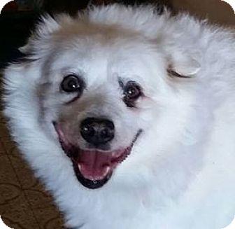 American Eskimo Dog Mix Dog for adoption in St. Louis, Missouri - Dreamer