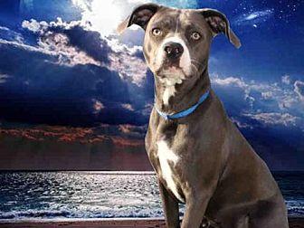 Pit Bull Terrier Dog for adoption in Fairfield, California - AERIAL