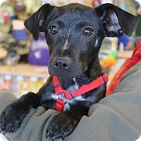 Adopt A Pet :: Tootsie Pup - Mt. Prospect, IL