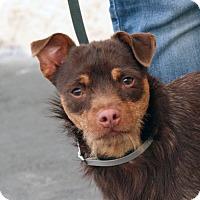 Adopt A Pet :: Ollie - Palmdale, CA