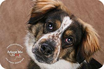 Australian Shepherd Mix Puppy for adoption in Cincinnati, Ohio - Taz