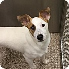 Adopt A Pet :: Found-Young Terrier Mix