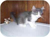 Domestic Mediumhair Kitten for adoption in Grand Rapids, Michigan - Austin