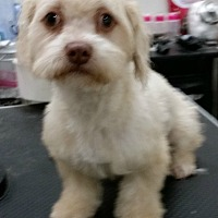 Cockapoo/Poodle (Miniature) Mix Puppy for adoption in Beverly Hills, California - KYLE MILLER