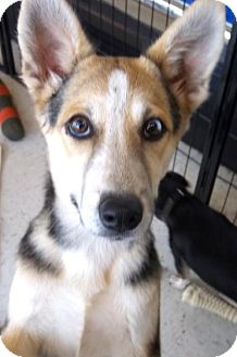 Husky Mix Dog for adoption in Anderson, South Carolina - Pepper