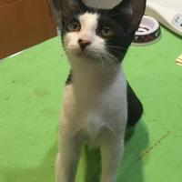 Domestic Shorthair/Domestic Shorthair Mix Cat for adoption in St. Thomas, Virgin Islands - TAZ