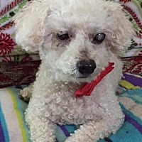 Adopt A Pet :: Puff - Greensboro, MD