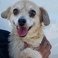 Adopt A Pet :: Paice - Las Vegas, NV