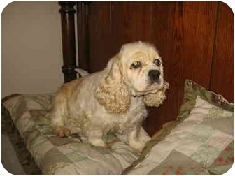 Cocker Spaniel Mix Dog for adoption in Mentor, Ohio - Maddie 4yr Adopted