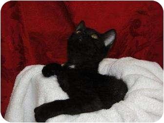 Domestic Shorthair Cat for adoption in Orlando, Florida - Lou