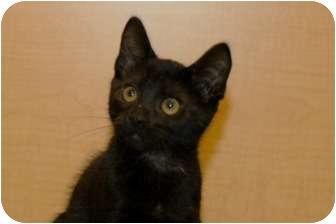 Domestic Shorthair Kitten for adoption in Houston, Texas - Marlin
