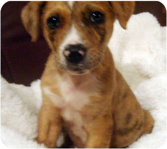 Boxer/Catahoula Leopard Dog Mix Puppy for adoption in New Braunfels, Texas - Sojo