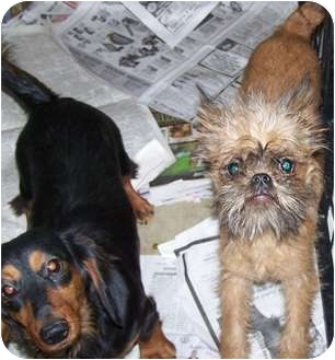 Brussels Griffon Puppy for adoption in Antioch, Illinois - Griffin