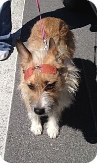 Cairn Terrier Mix Dog for adoption in Manhasset, New York - Nora