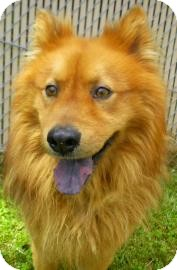 Pomeranian/Chow Chow Mix Dog for adoption in Lincolnton, North Carolina - Smokey