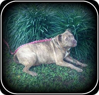 American Bulldog/Boxer Mix Dog for adoption in Indian Trail, North Carolina - Stella