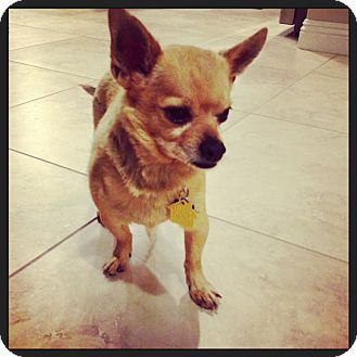 Chihuahua Dog for adoption in Las Vegas, Nevada - Gus