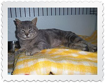 Domestic Shorthair Cat for adoption in Medford, Wisconsin - GINNY